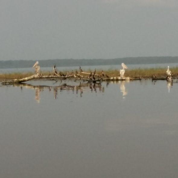 Embouchure Ogooué Lac Onangué - Rivière péliicans